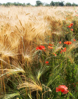 Wheat and Poppies, Esvres, Loire