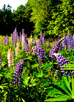 Lupines, Clark Point