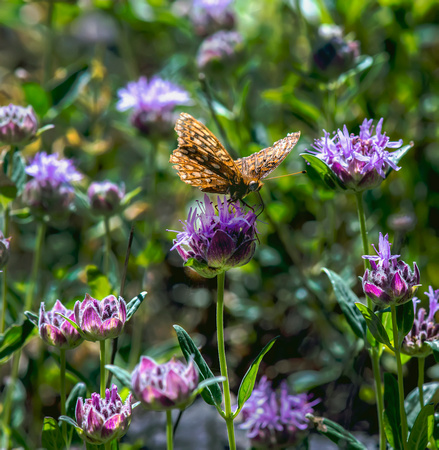 Checkerspot on Horse Mint II